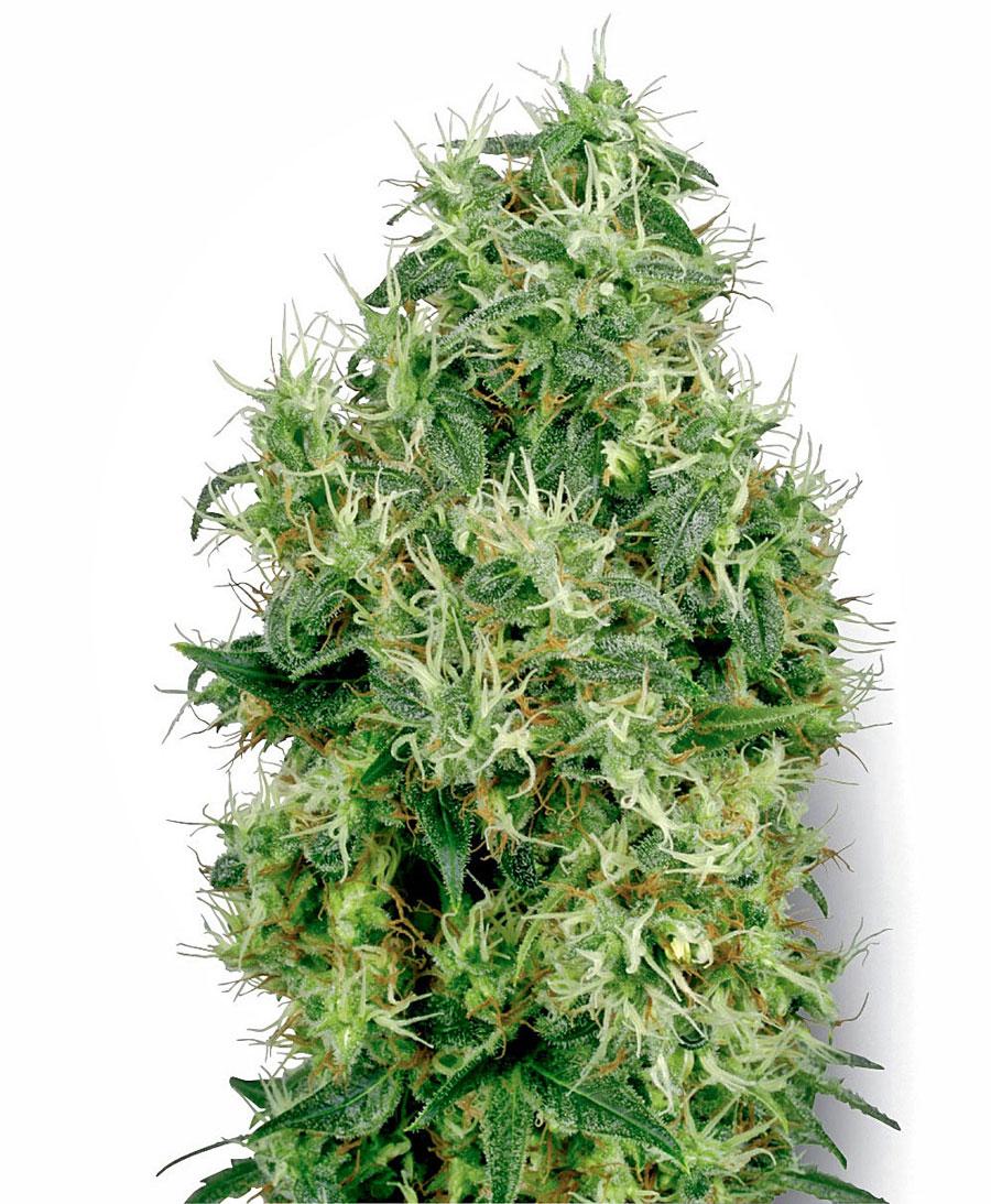 Kup online nasiona White Gold — White Label