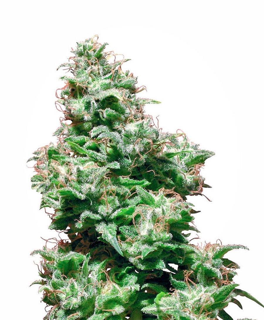 Comprar sementes Kali Haze online - White Label