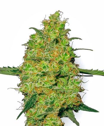Comprar sementes Master Kush online - White Label