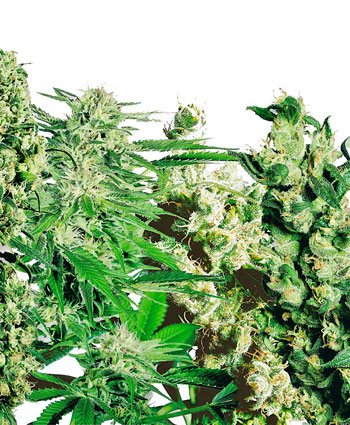 Comprar sementes Feminized Mix - Sensi Seeds