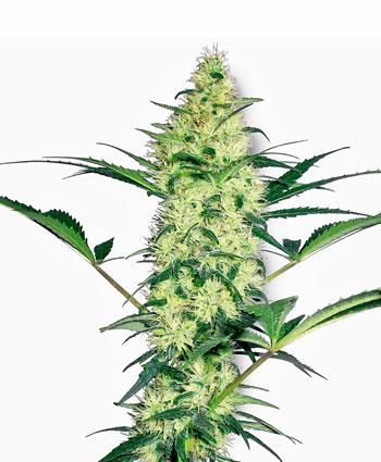 Comprar sementes White Diesel Feminizada online