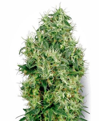 Comprar sementes White Gold Feminizada online - White Label